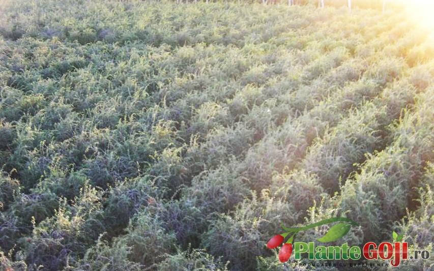 Beneficiile Infiintarii unei plantatii de Arbusti Goji