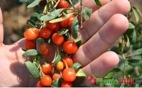 Plante si Fructe Goji - Beneficii