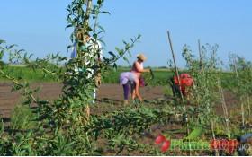 Plantare si Intretinere Plante Goji
