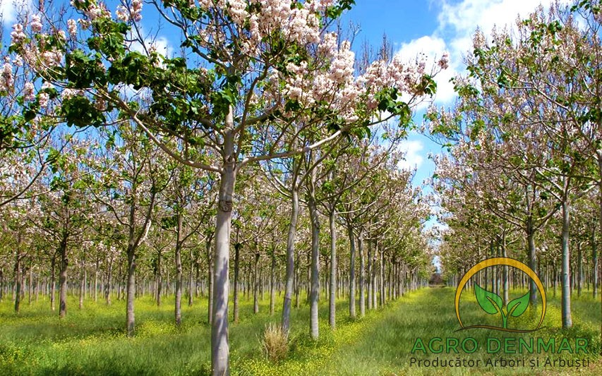 Plantare si Intretinere Arbori Paulownia