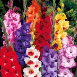 Bulbi de flori Gladiole pret avantajos - Cumpara online