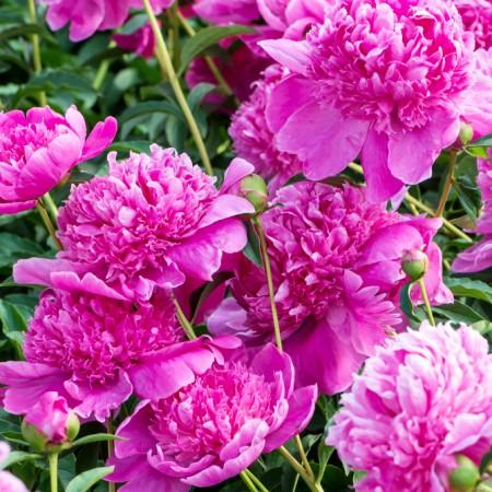 Bujor - Paeonia lactiflora Barbara - Bulbi de flori - AgroDenmar.ro