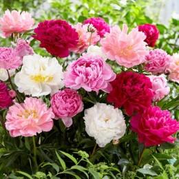 Bulbi de flori Bujori pret avantajos - Cumpara online