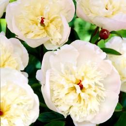 Bujor - Paeonia lactiflora Immaculee - Bulbi de flori - AgroDenmar.ro