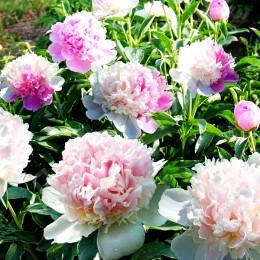 Bujor - Paeonia lactiflora Mister Ed - Bulbi de flori - AgroDenmar.ro
