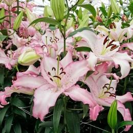 Crini Brasilia - Bulbi de flori - AgroDenmar.ro