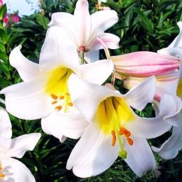 Crini Regale - Bulbi de flori - AgroDenmar.ro