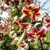 Crini Scheherazade - Bulbi de flori - AgroDenmar.ro