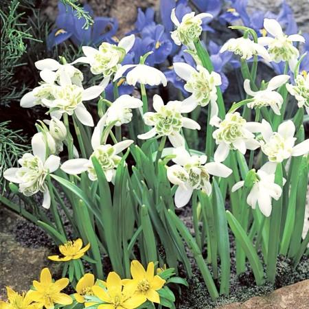 Ghiocei cu flori duble - Galanthus Nivalis Flore Pleno - Bulbi de flori - AgroDenmar.ro