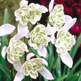 Bulbi de flori Ghiocei pret avantajos - Cumpara online