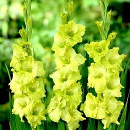 Gladiole Green Star - Bulbi de flori - AgroDenmar.ro