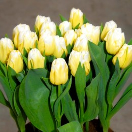 Lalele Antarctica Flame - Bulbi de flori - AgroDenmar.ro