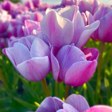 Lalele Blue Heaven - Bulbi de flori - AgroDenmar.ro