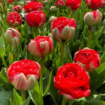 Lalele Boombastic Red - Bulbi de flori - AgroDenmar.ro