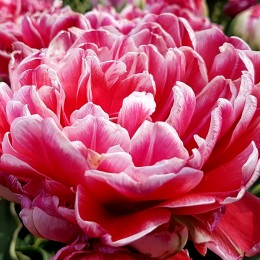 Lalele Dazzling Sensation - Bulbi de flori - AgroDenmar.ro
