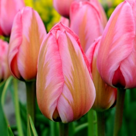 Lalele Design Impression - Bulbi de flori - AgroDenmar.ro