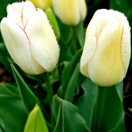 Lalele Diamond Jubilee - Bulbi de flori - AgroDenmar.ro