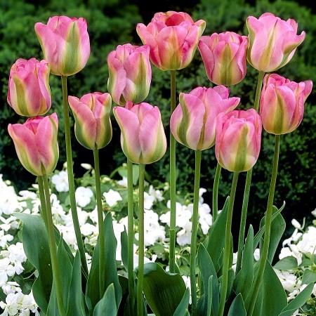 Lalele Groenland - Bulbi de flori - AgroDenmar.ro