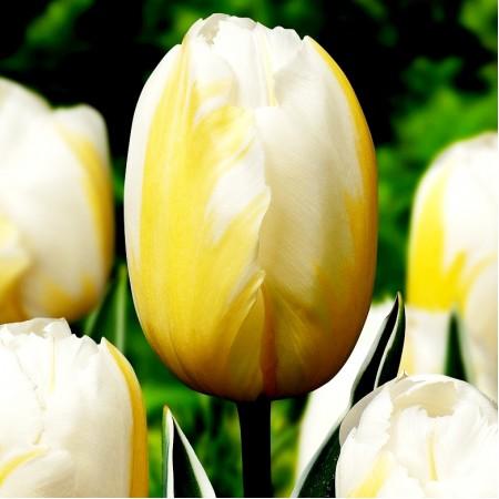 Lalele Happy People - Bulbi de flori - AgroDenmar.ro