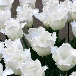 Lalele Honeymoon - Bulbi de flori - AgroDenmar.ro