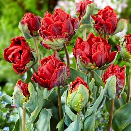 Lalele duble Rococo  - Bulbi de flori - AgroDenmar.ro