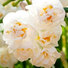 Narcise Bridal Crown - Bulbi de flori - AgroDenmar.ro