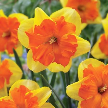 Narcise Congress - Bulbi de flori - AgroDenmar.ro