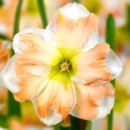 Narcise Cum Laude - Bulbi de flori - AgroDenmar.ro