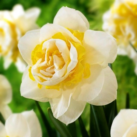 Narcise Salou - Bulbi de flori - AgroDenmar.ro