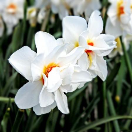 Narcise Viktoria Von Dem Busche - Bulbi de flori - AgroDenmar.ro