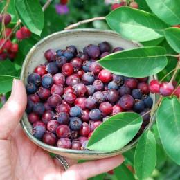Arbusti fructiferi Amelanchier pret avantajos - Cumpara online