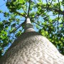 Arbori paulownia