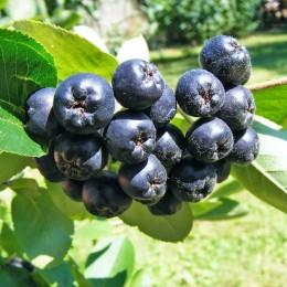 Arbusti fructiferi Aronia pret avantajos - Cumpara online