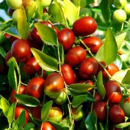 Plante exotice Curmal pret avantajos - Cumpara online