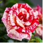 Trandafiri floribunda