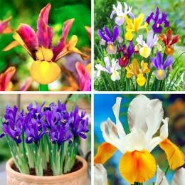 Bulbi de flori Irisi pret avantajos - Cumpara online
