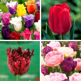 Bulbi de flori Lalele pret avantajos - Cumpara online