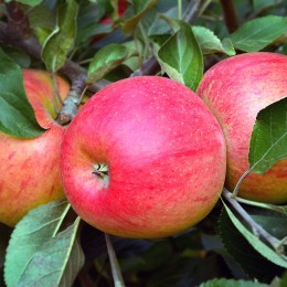 Pomi fructiferi Mar pret avantajos - Cumpara online