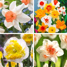 Bulbi de flori Narcise pret avantajos - Cumpara online