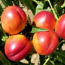 Pomi fructiferi Nectarin pret avantajos - Cumpara online