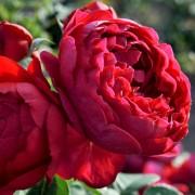 Trandafiri nostalgici
