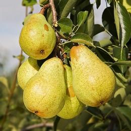 Pomi fructiferi Par pret avantajos - Cumpara online