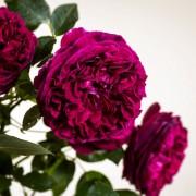 Trandafiri englezesti