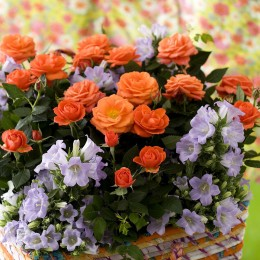 Trandafiri Trandafiri pitici pret avantajos - Cumpara online