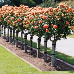 Trandafiri Trandafiri trunchi inalt pret avantajos - Cumpara online