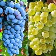Vita de vie pentru vin