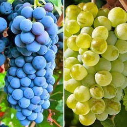 Vita de vie Vita de vie pentru vin pret avantajos - Cumpara online