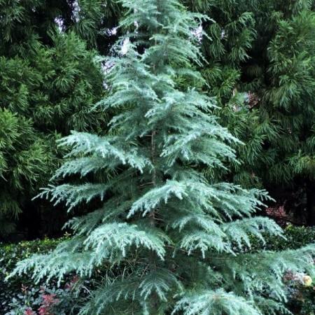 Cedru Deodora - Conifere - AgroDenmar.ro