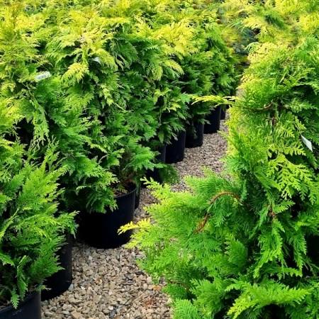 Chiparos auriu Yvonne 100 cm - Conifere - AgroDenmar.ro