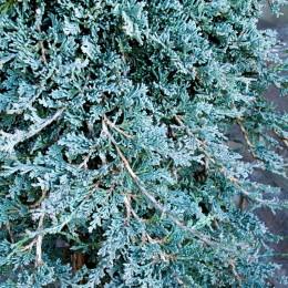 Ienupar Icee Blue - Conifere - AgroDenmar.ro